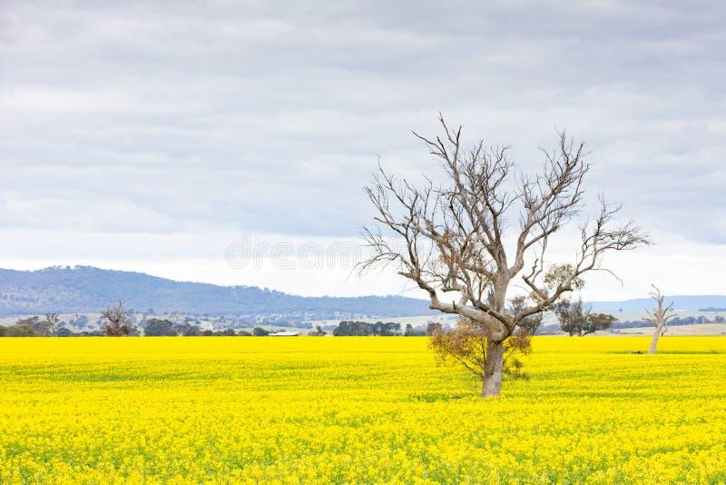 Canola Fields Próximo a Smeaton em Victoria Austrália imagens de stock royalty free