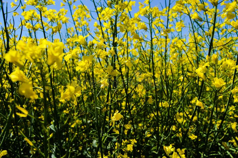 Canola in fioritura fotografia stock