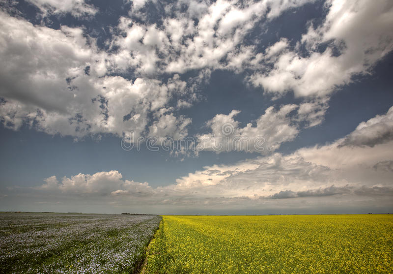 Canola and flax fields in Saskatchewan royalty free stock photos