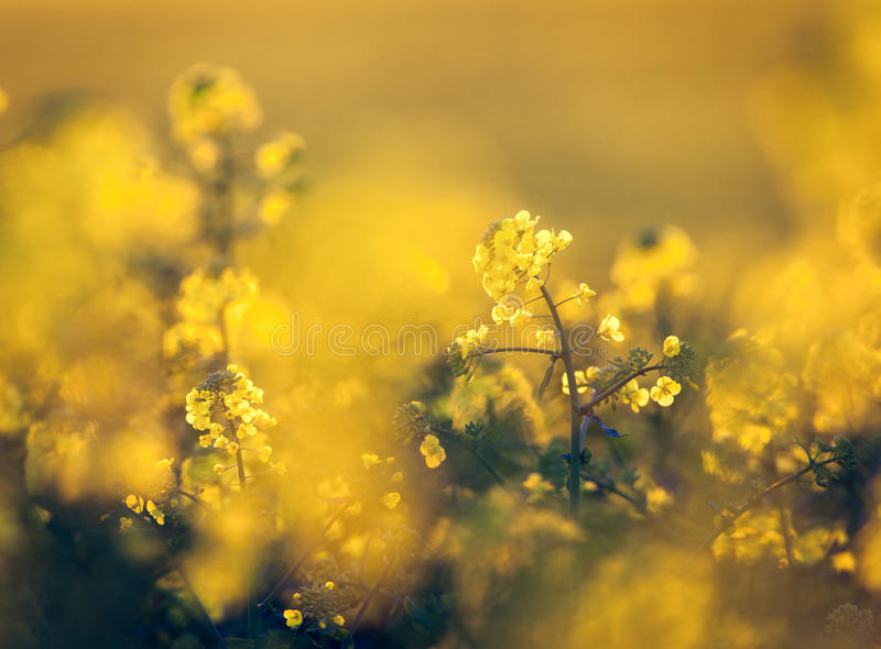 Canola flowers, colza. Rapeseed flowers. Rapeseed field, Blooming canola. Flowers close-up. on the field in spring. Rapeseed oil. Flowering rapeseed. Nature royalty free stock photo
