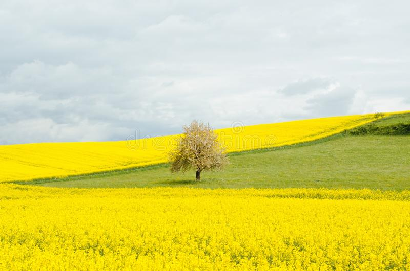 Canola Flowers In Field Free Public Domain Cc0 Image