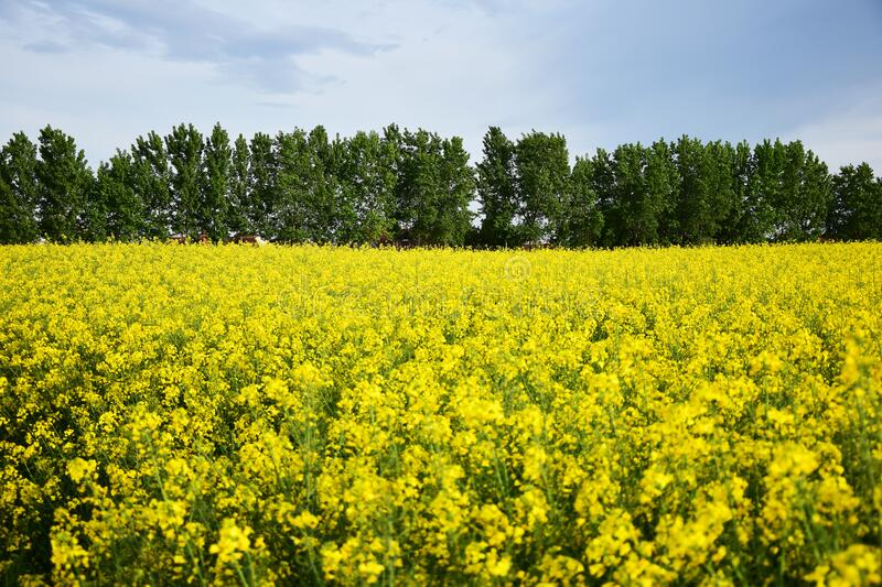 Rapeseed field in spring royalty free stock photos