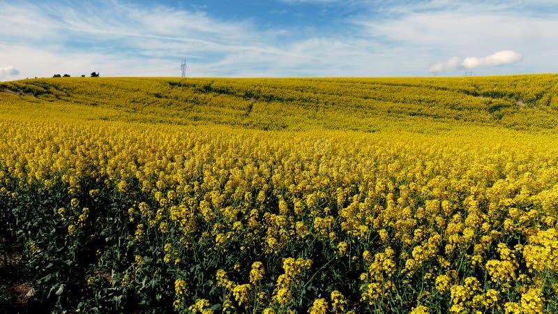 Canola. Golden fields. stock photo