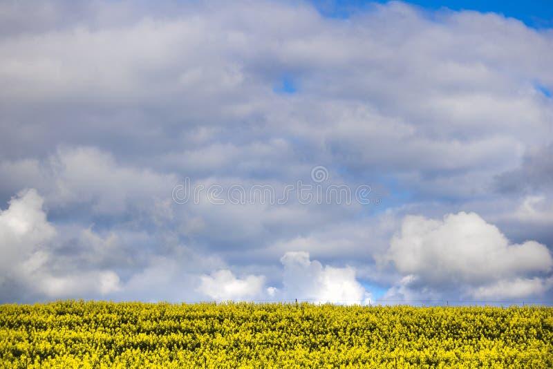 Canola kwiatu pole na gospodarstwie rolnym w Caledon, Zachodni przylądek, Południowa Afryka obraz stock