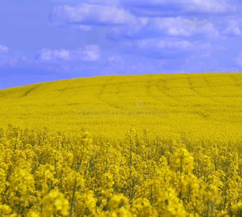 Canola Landschaft 2 lizenzfreies stockbild