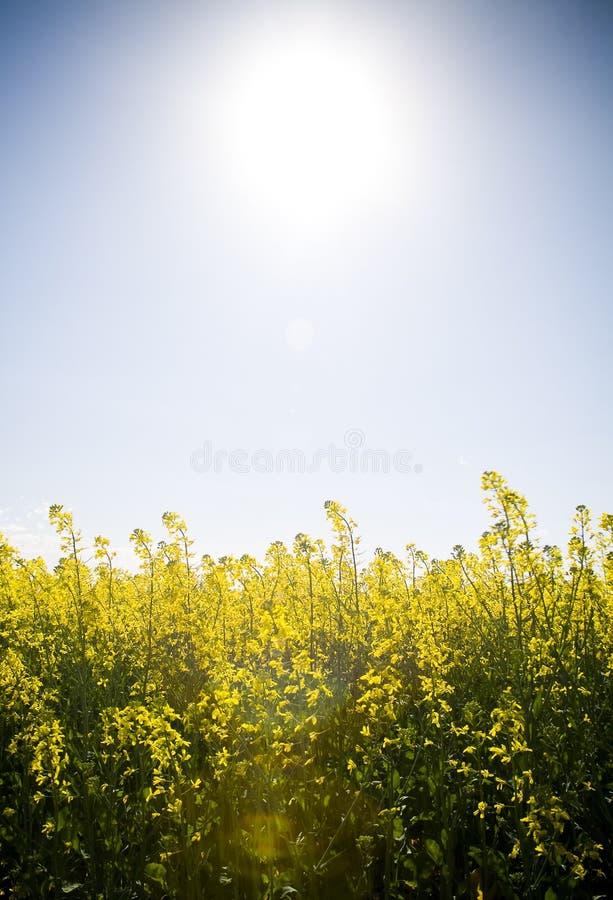 Canola nell'ambito di Sun immagini stock