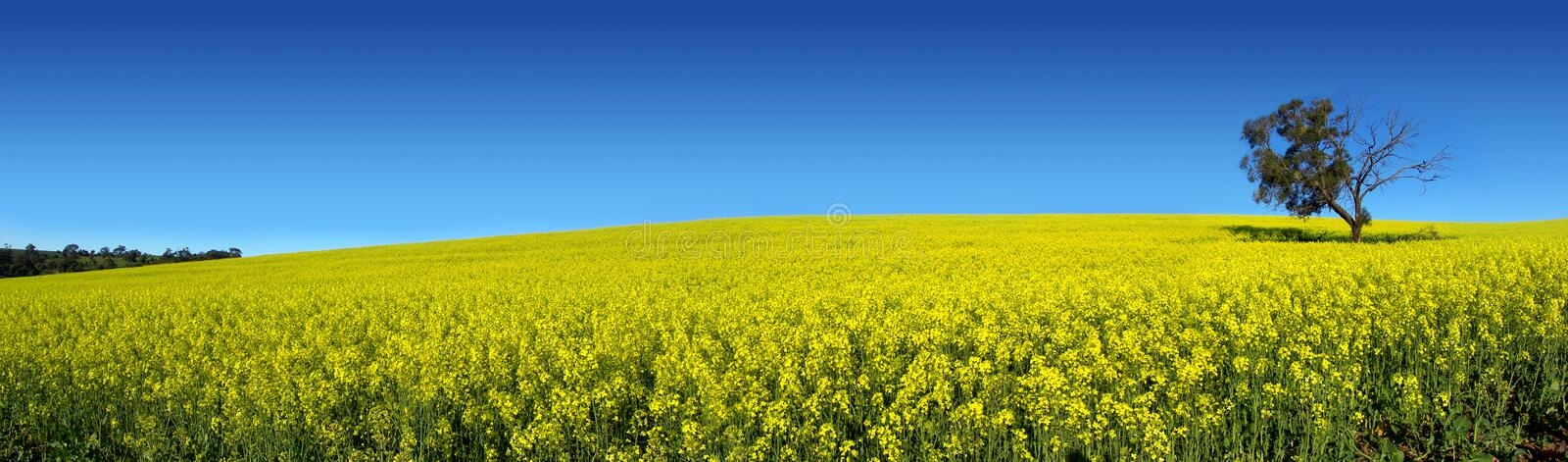Canola panoramique image stock