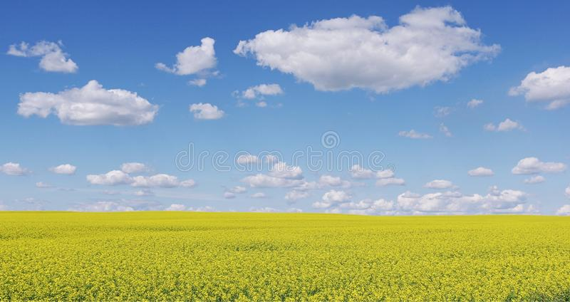 Canola plants flowering in North Dakota. A yellow field of canola plants against a big puffy blue sky in North Dakota royalty free stock images