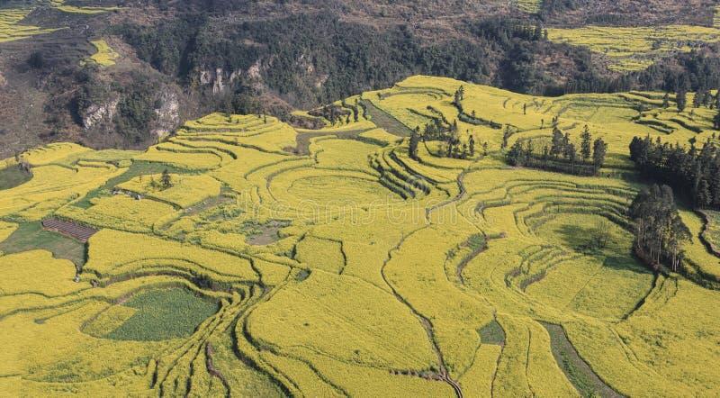 Canola pole, rapeseed kwiatu pole z ranek mgłą w Luoping, Chiny, blisko Kunming zdjęcie royalty free