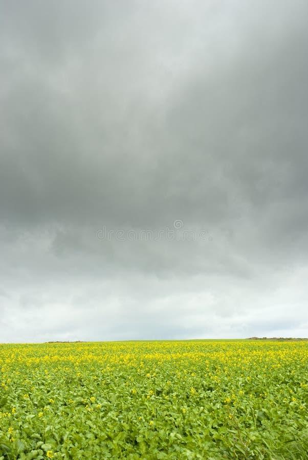 Canola pole z popielatymi chmurami zdjęcie stock