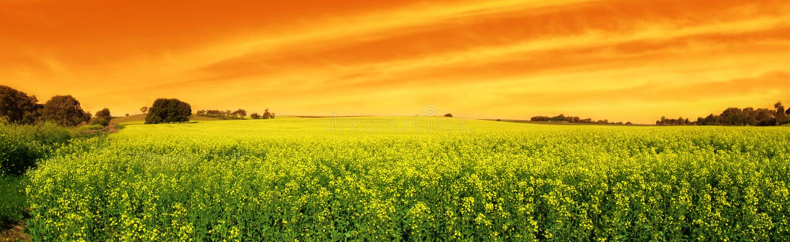 Canola Sunset Panoramic royalty free stock image