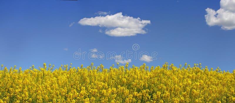 Canola y cielo azul fotos de archivo libres de regalías