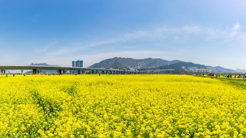Canola Yuchae-Festival an ökologischem Park Daejeo, Busan, Südkorea stockfotografie