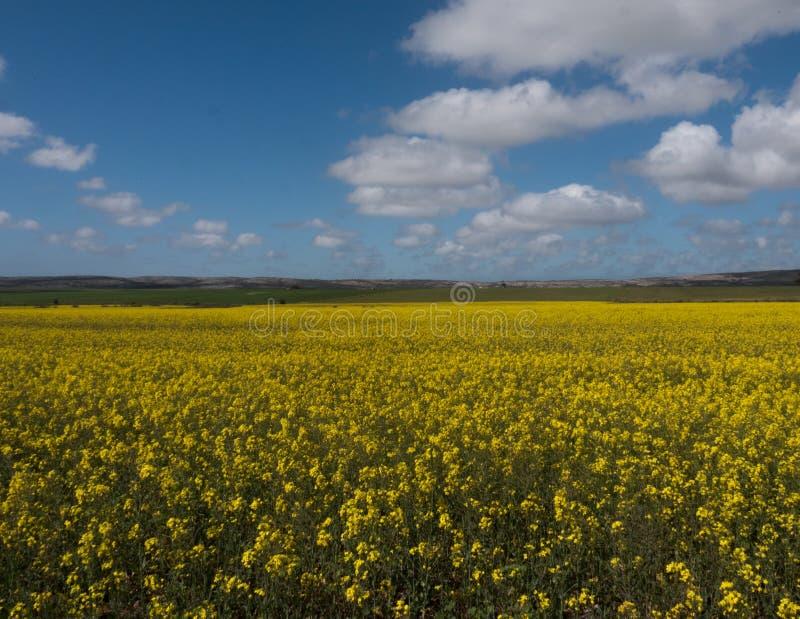 Canolabloemen onder een blauwe hemel met gezwollen wolken stock foto's