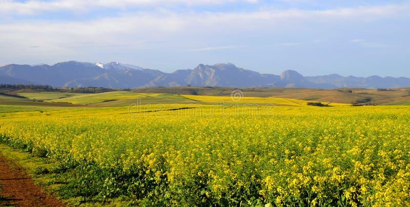 Canolagebied in Overberg - Zuid-Afrika royalty-vrije stock afbeelding