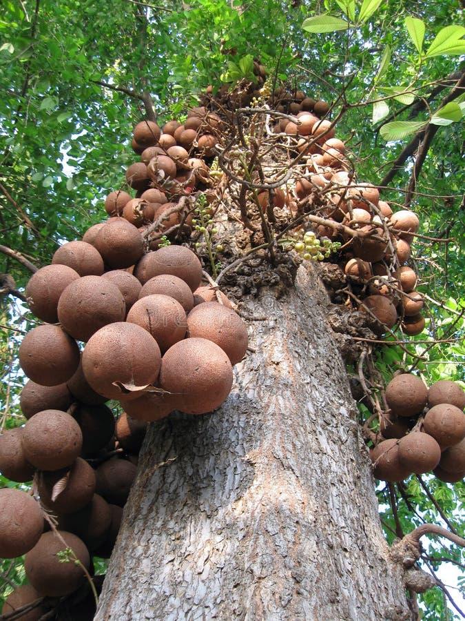 Free Canon Ball Tree Royalty Free Stock Photo - 8736765
