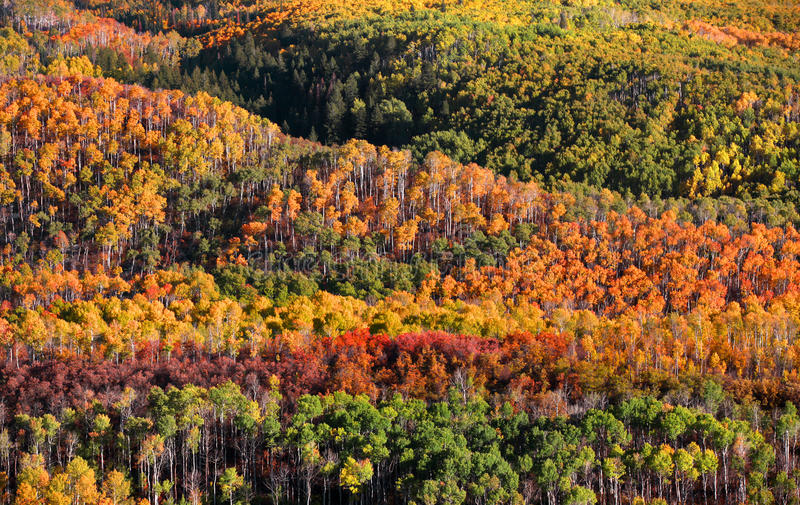 Canopy of Autumn trees. In Colorado stock images