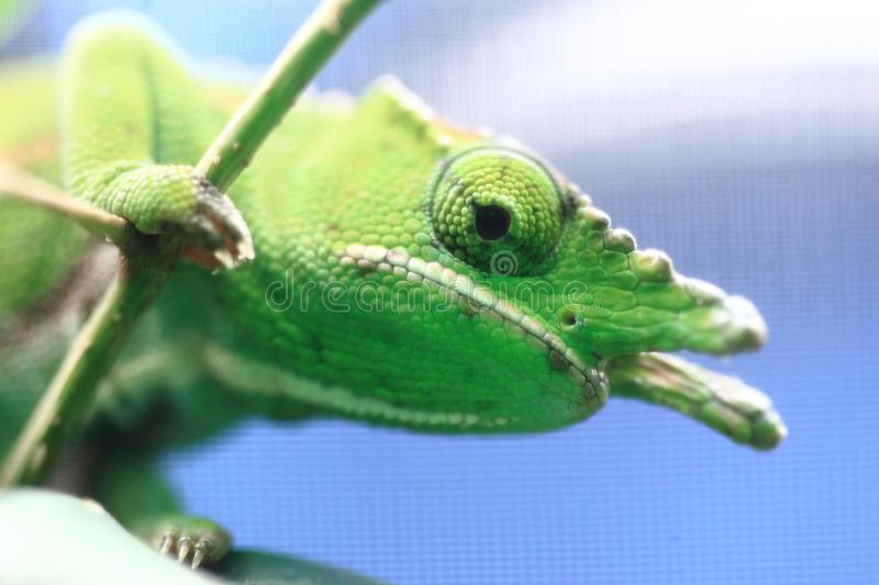 Canopy chameleon. The detail of canopy chameleon stock photography