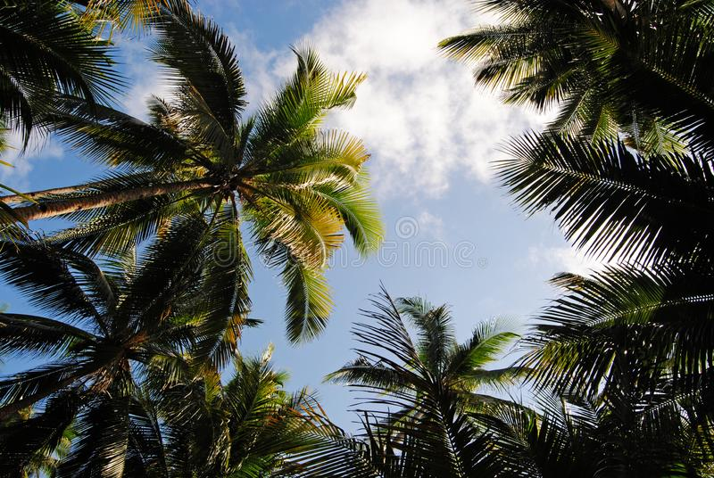 Canopy of The Coconut Trees royalty free stock photo