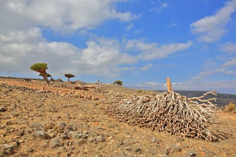 Dead dragon tree stock photo