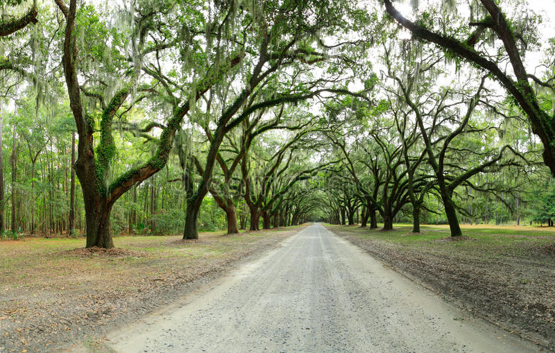 Canopy of oak trees covered in moss. Forsyth Park, Savannah, Geo royalty free stock images