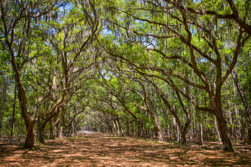 Download Canopy Of Old Live Oak Trees Draped In Spanish Moss. Stock Image - Image & Canopy Of Old Live Oak Trees Draped In Spanish Moss. Stock Image ...