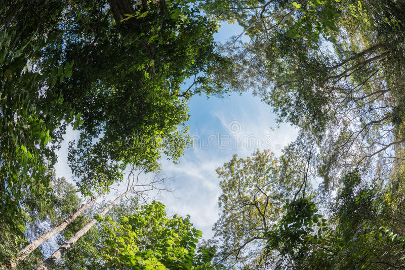 Canopy tree of Mixed Deciduous Forest in Thailand. stock photos