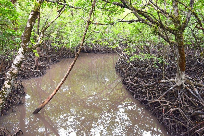 Canotage par des palétuviers - arbres rouges de palétuvier - île de Baratang, Andaman Nicobar, Inde photos libres de droits