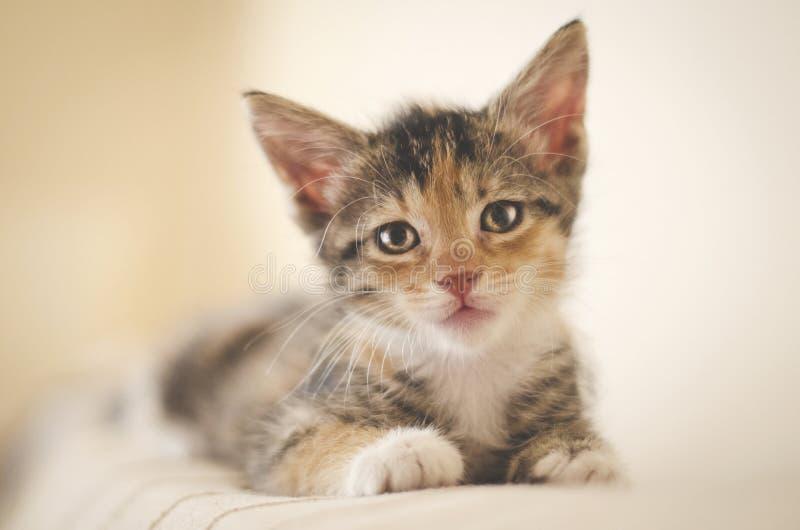 Cansado rescató el gatito del calicó de 6 semanas con los ojos brillantes que miraban la cámara y que descansaban sobre el sofá fotos de archivo