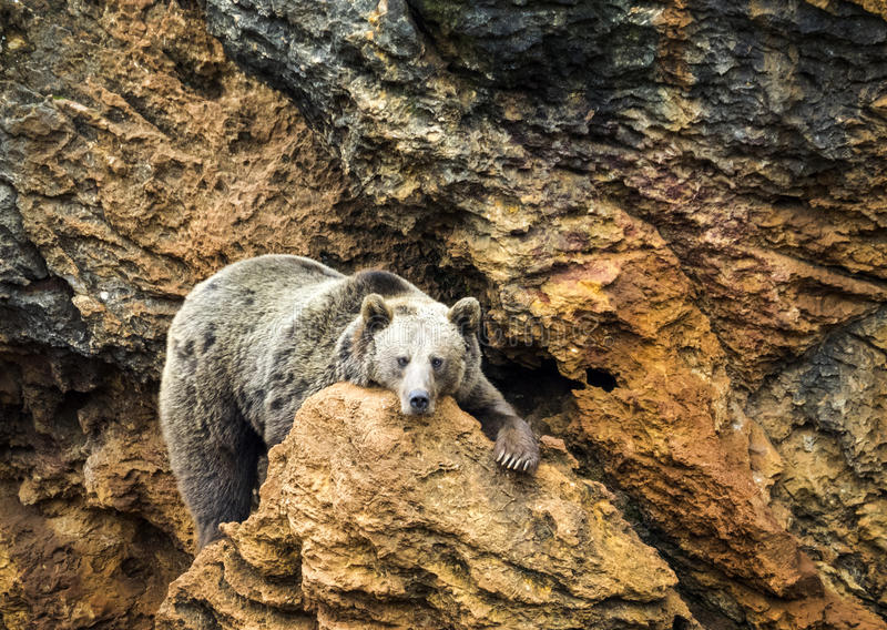 Cantabrian brown bear. Refers to a population of Eurasian brown bears (Ursus arctos arctos) living in the Cantabrian Mountains of Spain royalty free stock photos