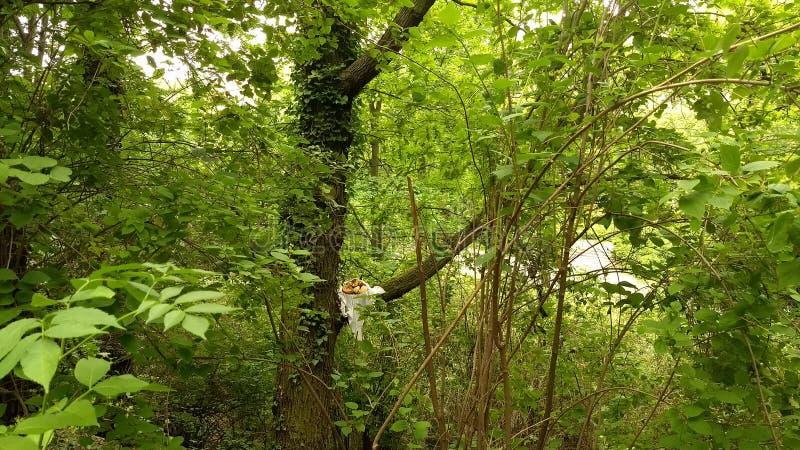 Cantaloup dans un arbre images libres de droits