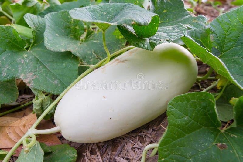 Cantaloup frais dans la ferme photo libre de droits