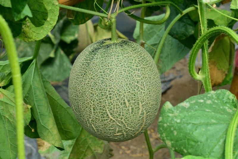 Cantaloup Melon frais sur l'arbre photographie stock