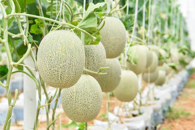 Cantaloup melonu plantaion obrazy stock