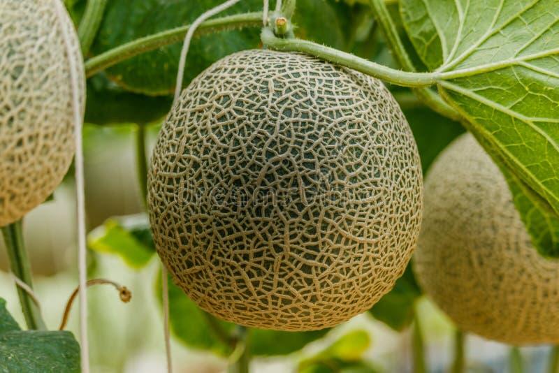 cantaloupe Melão fresco na árvore Foco seletivo imagem de stock royalty free