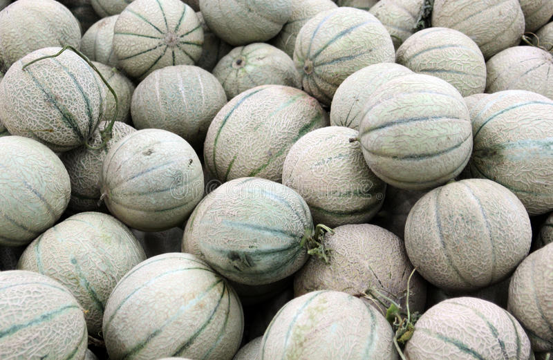 Cantaloupe melons. Fresh and green cantaloupe melons royalty free stock images