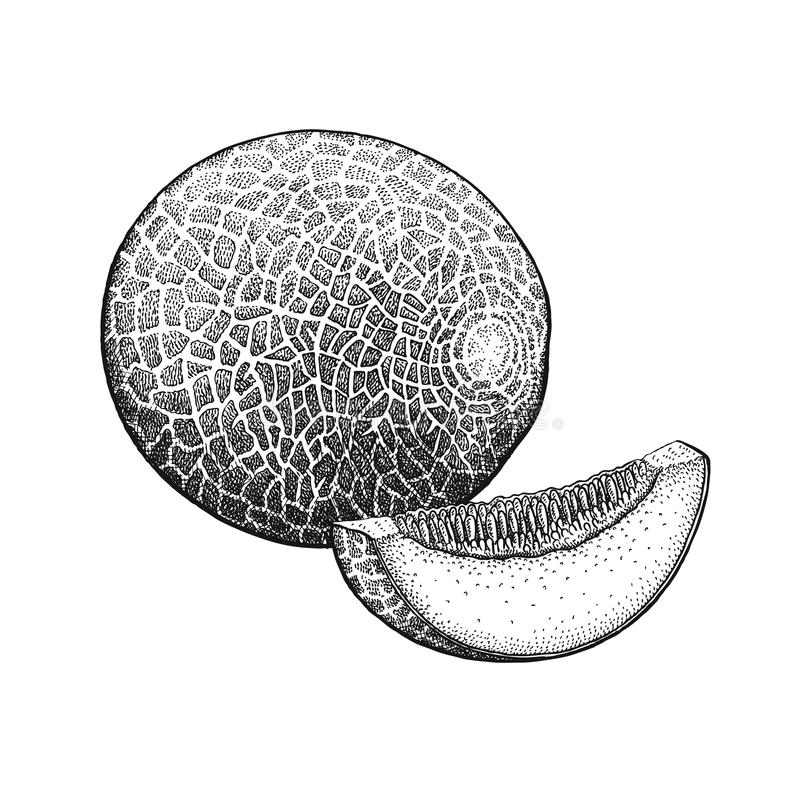 Cantalupo del grabado del vintage stock de ilustración
