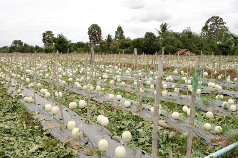 Cantalupo en Tailandia imagen de archivo libre de regalías