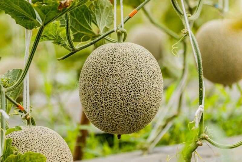 Cantalupo Melón fresco en árbol Foco selectivo fotos de archivo libres de regalías