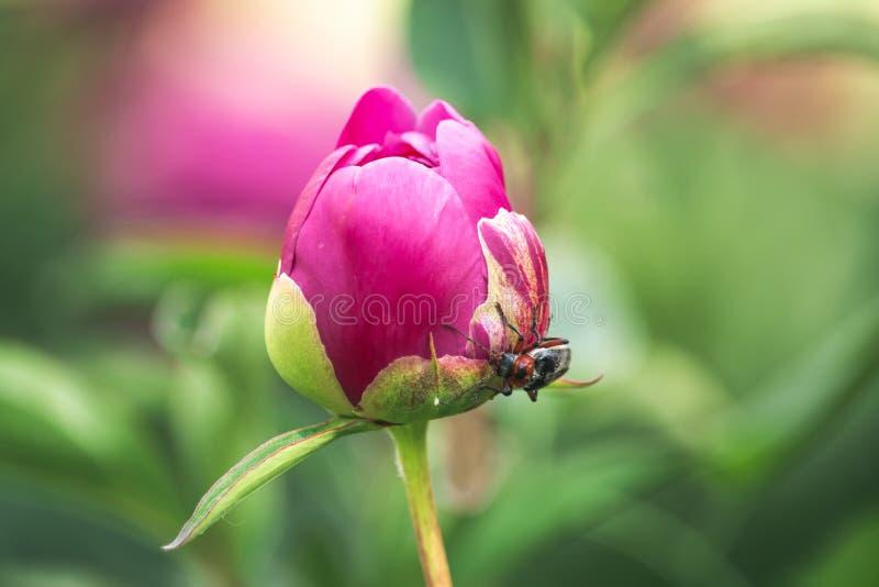 Cantaride sul germoglio rosa della peonia fotografia stock libera da diritti