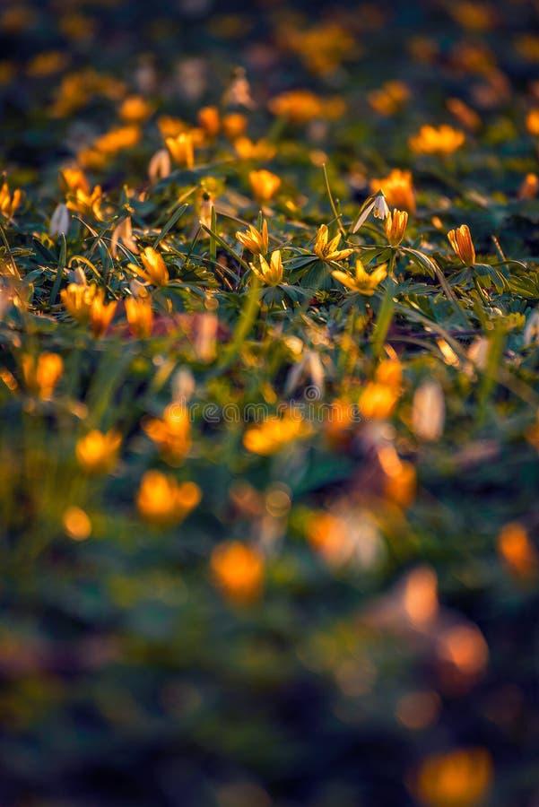Canteiro de flores amarelo bonito disparado com um fim macro da lente acima em uma luz suave bonita fotografia de stock royalty free