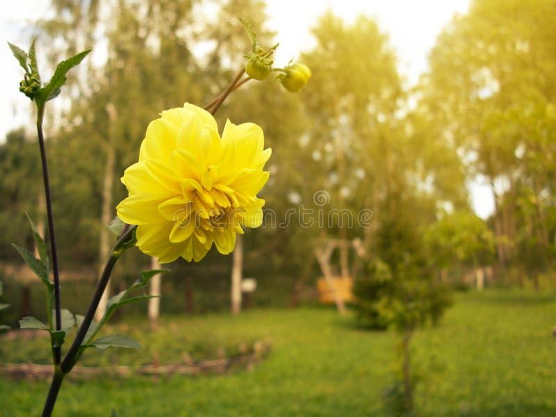Canteiro de flores amarelo de florescência da dália de terry no jardim foto de stock
