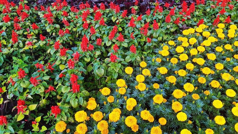 Canteiro de flores com as flores amarelas e vermelhas, fundo floral natural fotos de stock royalty free