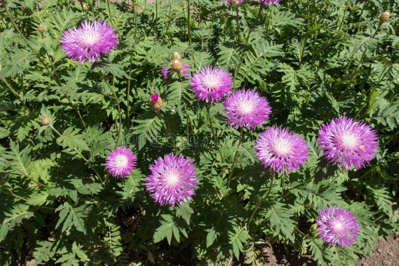 Canteiro de flores com as flores cor-de-rosa da centáurea da lavagem política imagens de stock