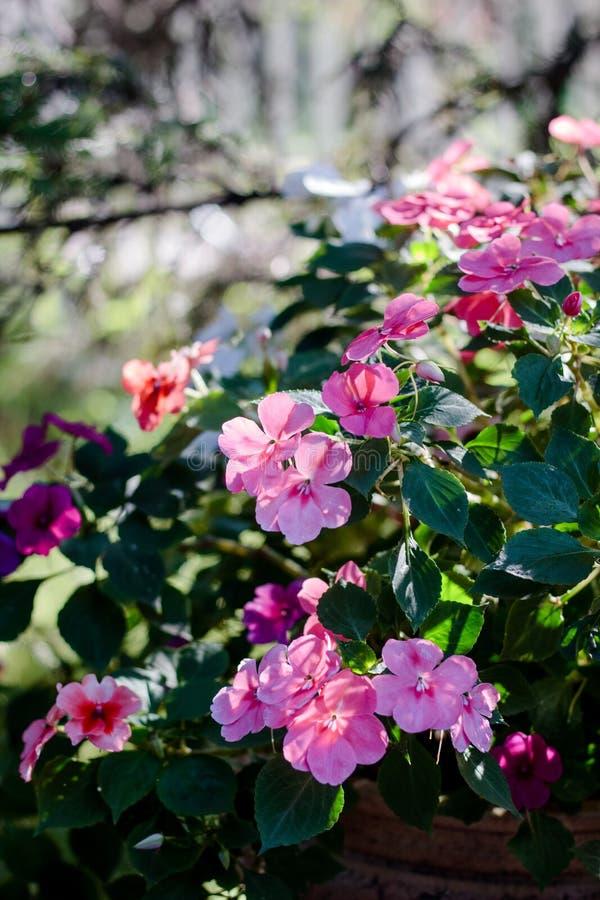 Canteiro de flores com as flores cor-de-rosa no dia do verão ou do outono imagem de stock