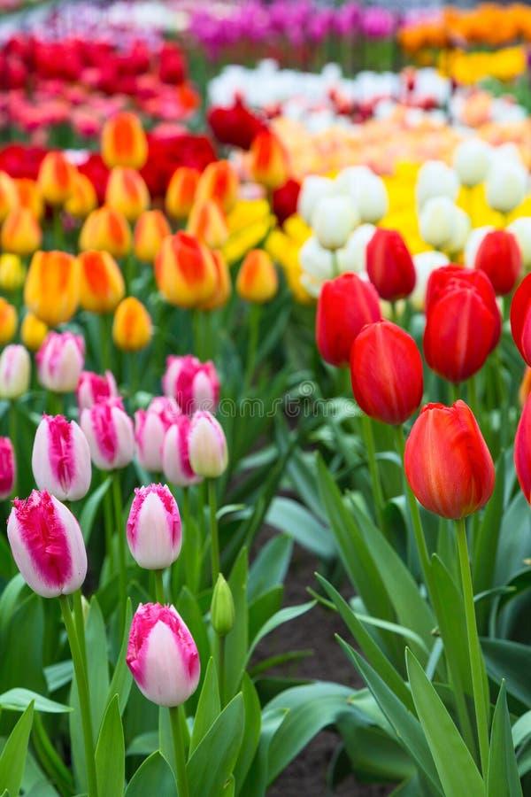 Canteiro de flores da tulipa, vermelho, amarelo, flores cor-de-rosa imagens de stock