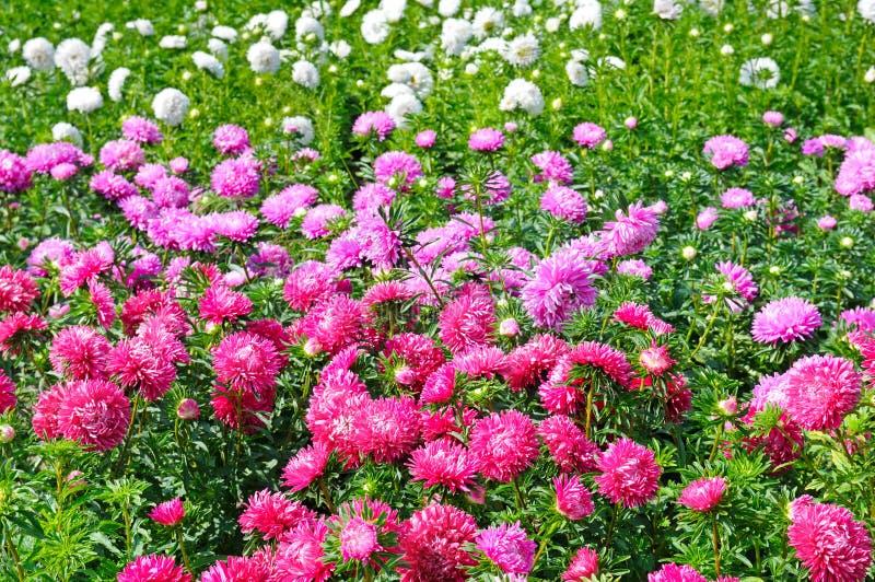 Canteiro de flores de ásteres multi-coloridos Foco em uma flor vermelha fotos de stock