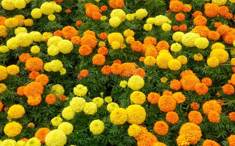Canteiro de flores do cravo-de-defunto foto de stock