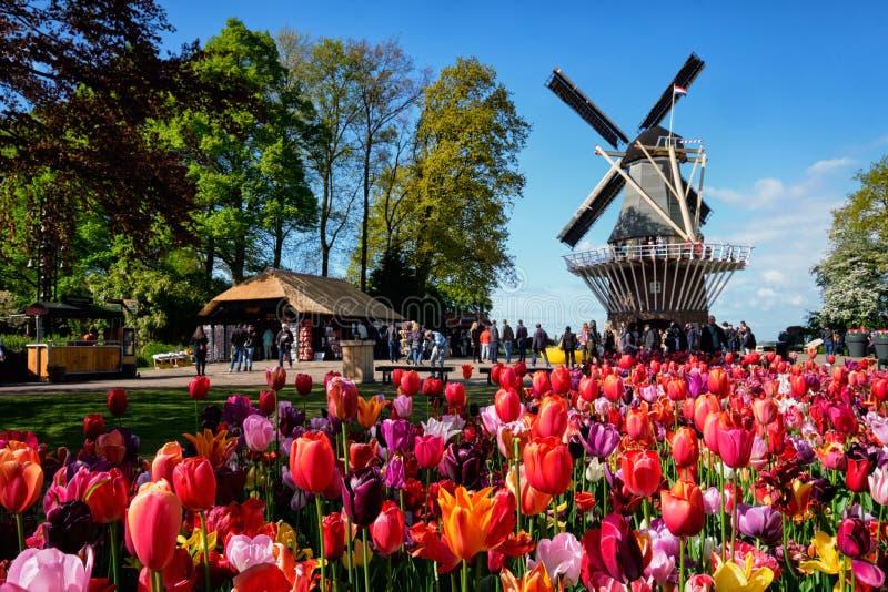 Canteiro de flores e moinho de vento de florescência das tulipas na flor garde de Keukenhof fotografia de stock