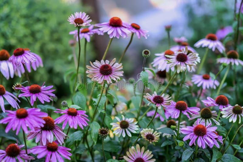 Canteiro de flores de florescência pitoresco brilhante da rua em máscaras roxas Fundo floral sazonal bonito para assuntos diferen foto de stock